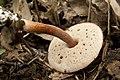 Austroboletus gracilis 03.jpg
