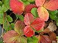 Autumn Colours - Strawberries (8105391319).jpg