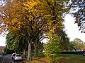 Autumn trees on Sutton Green, SUTTON, Surrey, Greater London (3).jpg