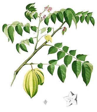 Averrhoa carambola - An illustration of the fruit, leaves, and flowers of Averrhoa carambola