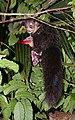 Aye-aye (Daubentonia madagascariensis) 1.jpg