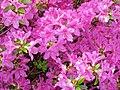 Azaleas (Dover, Ohio, USA) 1 (27177738325).jpg