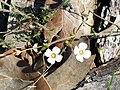 Bairne Track Mitrasacme flower.jpg