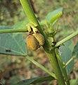 Baliospermum solanifolium 04.JPG
