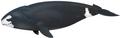 Ballena de Groenlandia.png