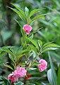 Balsam flowers 09.jpg