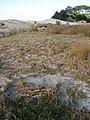 Banksia integrifolia L.f. (AM AK291450-4).jpg