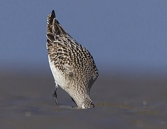 Bar-tailed godwit - Image: Bar tailed Godwit at Kutch