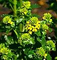 Barbarea vulgaris ENBLA01.jpg