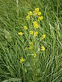 Barbarea vulgaris RHu01.JPG