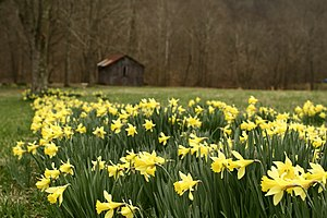Field of Daffodils with an old barn in the bac...