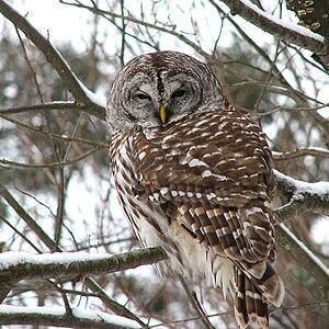 Barred owl - Gatineau Park, Gatineau, Quebec