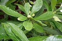 Barringtonia acutangula (Freshwater Mangrove) fruits in Kolkata W IMG 8547