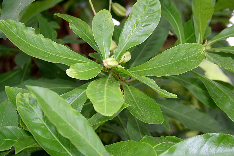 File:Barringtonia acutangula (Freshwater Mangrove) fruits in Kolkata W IMG 8547.jpg