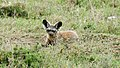 Bat-eared Fox, Serengeti (16434521143).jpg