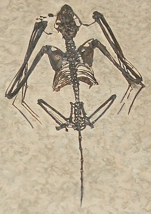 Bat - The early Eocene fossil microchiropteran Icaronycteris, from the Green River Formation