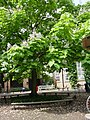 Bean Tree - geograph.org.uk - 1424540.jpg