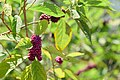 Beautyberry (25108066684).jpg