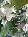 Bee in Apple blossom.jpg