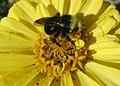 Bee on chrysanthemum (15520113087).jpg
