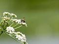 Bee on flower (14376627624).jpg