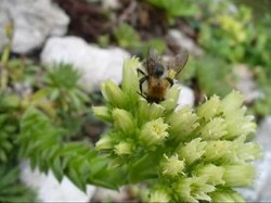 Файл:Bee pollinating Sempervirum.ogv
