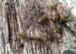 File:Bees harvesting honey that fell onto a plank.webm