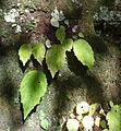 Begonia 4.JPG