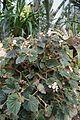 Begonia Palmengarten Frankfurt (Main) 2.jpg