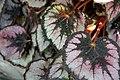 Begonia Phil Seiden 3zz.jpg