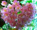 Begonia coccinea Botanical Garden Heidelberg.JPG