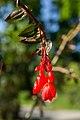 Begonia fuchsioides - Botanischer Garten Dresden (5).jpg