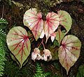 Begonia sp. - Flickr - Dick Culbert.jpg