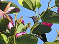 Beija-flor-tesoura - Eupetonema macroura - Trochilidae - se alimentando nas flores de pata-de-vaca-rosa - Bauhinia blakeana 06.jpg