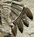 Bellacartwrightia pygidium leftside ventral 1.jpg