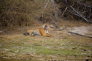 Kuno Wildlife Sanctuary - A Bengal tiger in Bandipur National Park, Karnataka, 2016