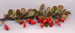 Berberis thunbergii shoot with fruit