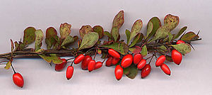 Berberis - Berberis thunbergii shoot with fruit