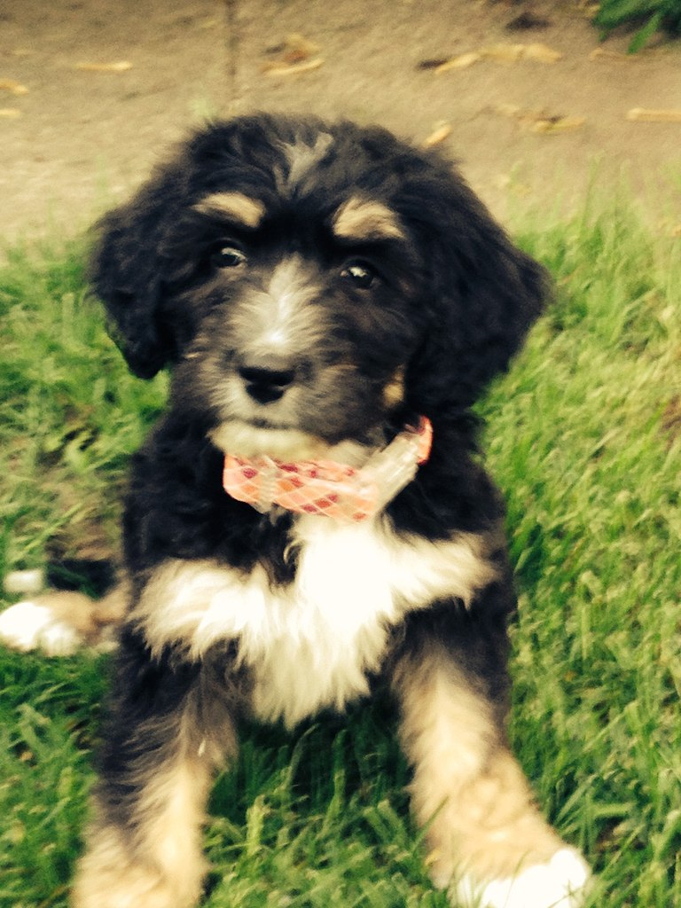 File Bernedoodle Puppy 2 Jpg Wikimedia Commons