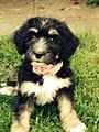 Bernedoodle Puppy 2.jpg