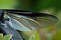 Bibio.marci.wing.detail.jpg