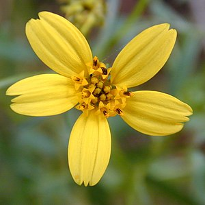 Asteraceae - A typical Asteraceae flower head showing the individual flowers (Bidens torta)