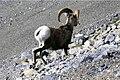 Bighorn sheep on scree.jpg