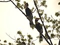 Bird Great Hornbill Buceros bicornis pair 05.jpg