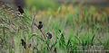 Bird In Wheat Field (1).jpg