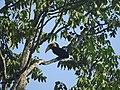 Bird Wreathed Hornbill Rhyticeros undulatus DSCN9018 26.jpg