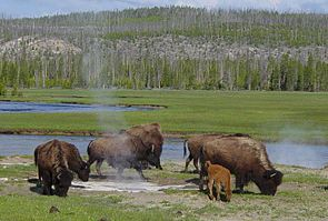 Bisons in der Nähe einer heißen Quelle