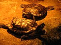 Bk turtles, Kristiansand Zoo, Norway.jpg