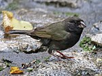 Black-faced Grassquit-rwd1.jpg