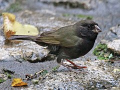 240px black faced grassquit rwd1